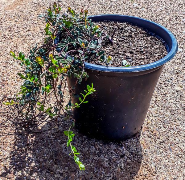 Cranberry 19cm creeper