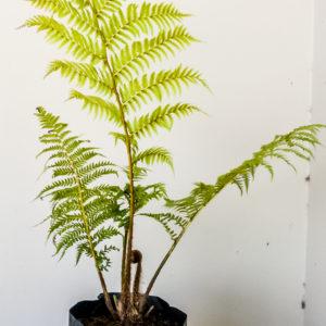 Cyantha-fern-10lt