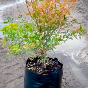 NANDINA FERN FLAME 10LT (1 of 1)