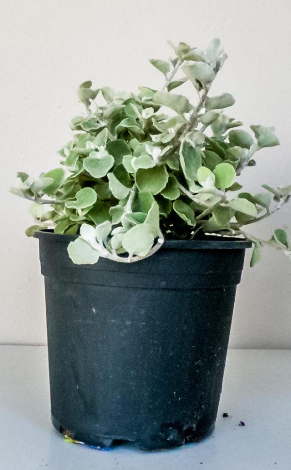 Helicrysum petiolare