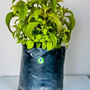 Plectranthus ecklonii blue 10lt