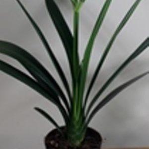Clivia Miniata 17cm