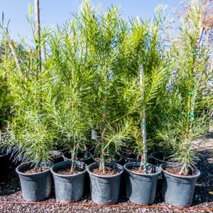 Afrocarpus Falcatus 19cm