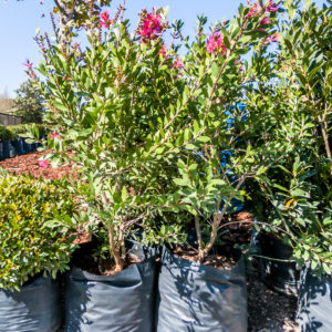 Callistemon Perth Pink 20lt Bottlebrush