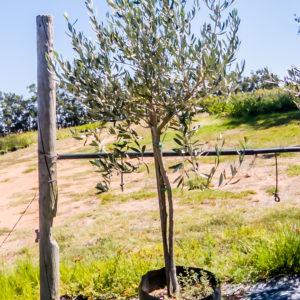 Olive tree 50lt