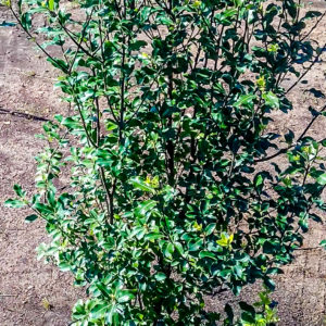 Pittosporum-20lt