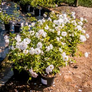 Rose White Floribunda 17cm 2