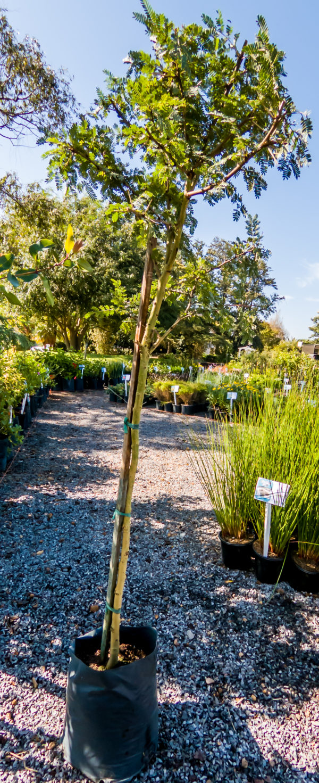 Vachellia Xanthophloea Fever Tree 10lt