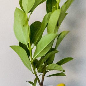 Viburnum-sinensis-19cm
