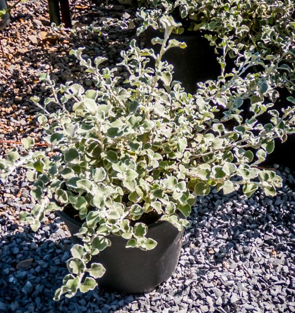Helichrysum Petiolare Petite 17cm