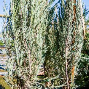 Juniperus Skyrocket 20lt_