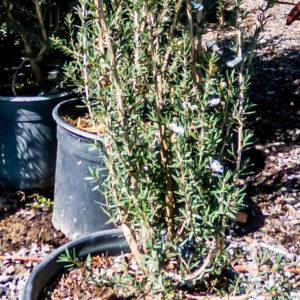 Laptospermum Scoparium Alba 17cm