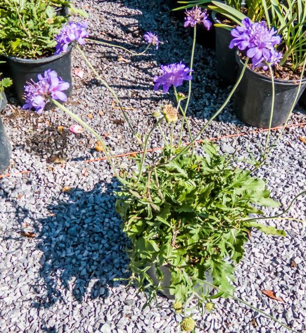 Scabiosa Butterfly Blue 17cm