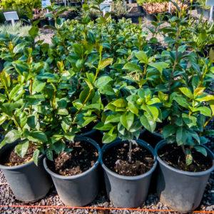 Trachelospermum Jasminoides 17cm Star Jasmine