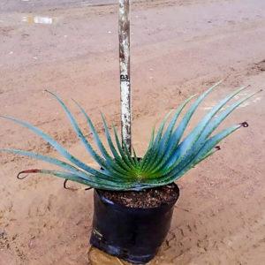 Aloe Suprafoliata 10lt