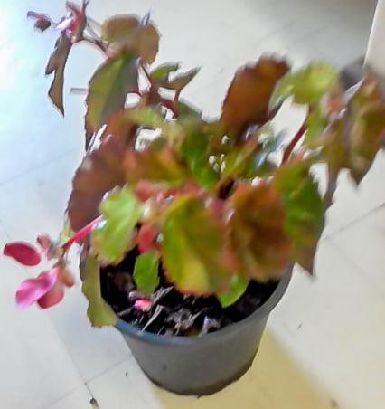 Begonia Angel Wings 17cm