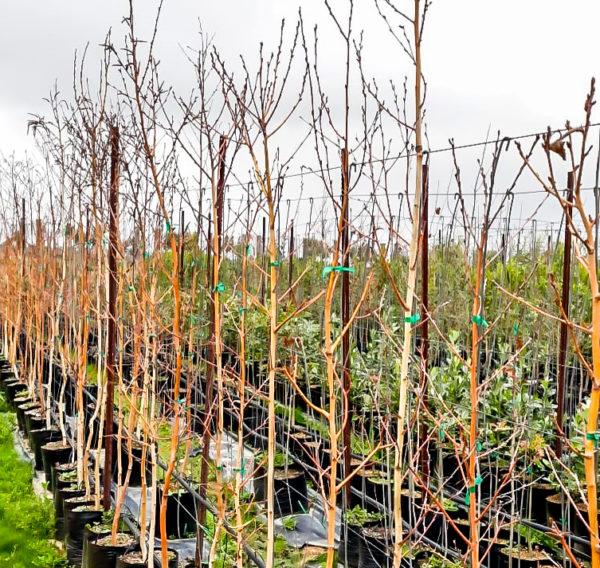 Birchwood tree silver