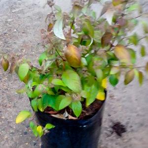 Buddleja Auriculata (weeping Sage) 10lt