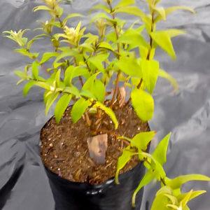 Buddleja Salvifolia (Sagewood) 10lt