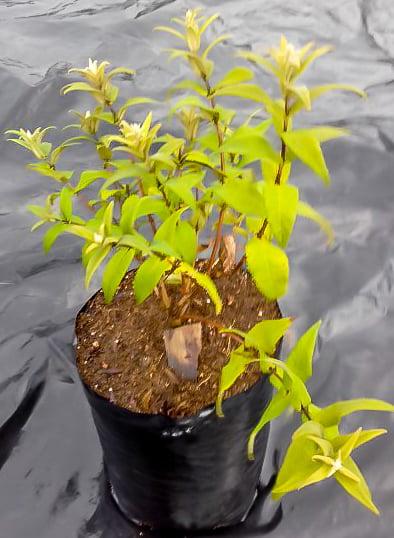 Buddleja Salvifolia