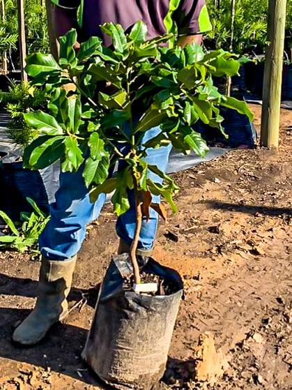 Magnolia grandiflora south africa cape town