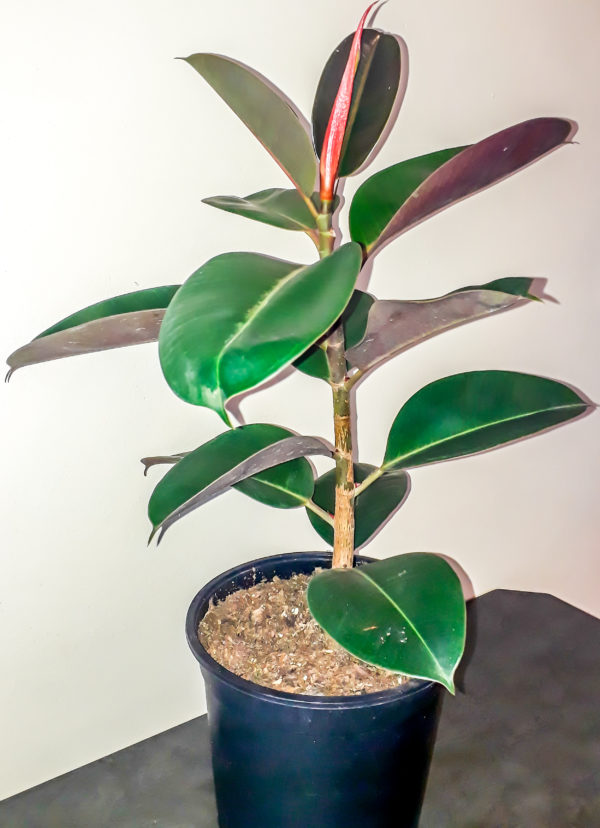 Ficus Robusta rubber tree