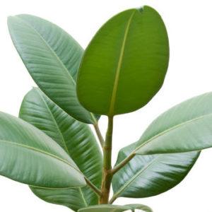 Ficus Elastica Robusta 24cm