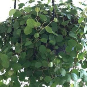 Muehlenbeckia Complexa (Maidenhair Vine) 20cm basket