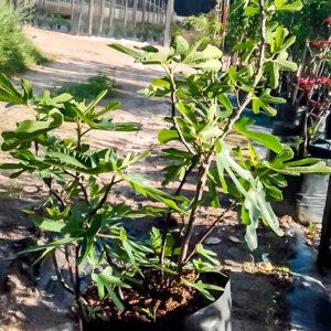Adam Fig Tree