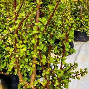 Spekboom wonder plant portulacaria