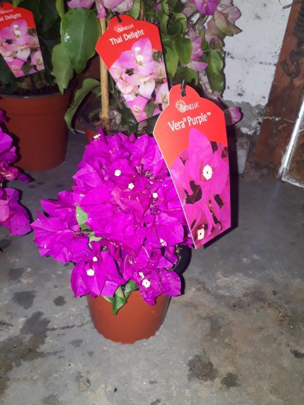 bougainvillea 15cm Vera Purple