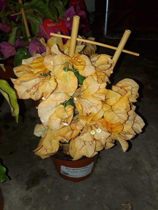 bougainvillea 15cm topaz gold