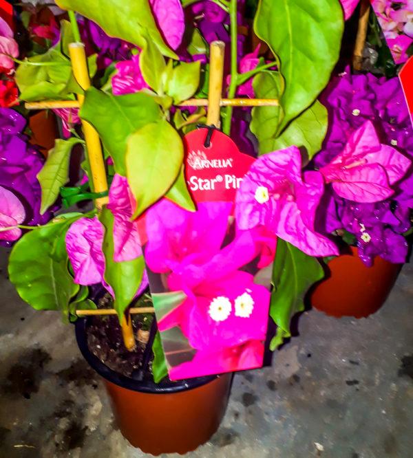 bougainvillea 15cm rijnstar pink