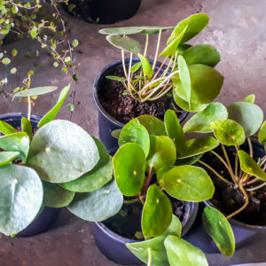 Pilea Peperomioides 14cm (Chinese Money Plant)