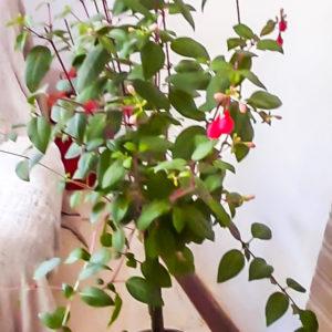 Fuchsia STD (Lollipop)