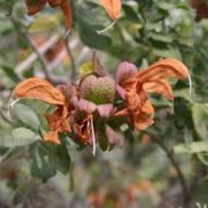 Salvia Africana Lutea 17cm