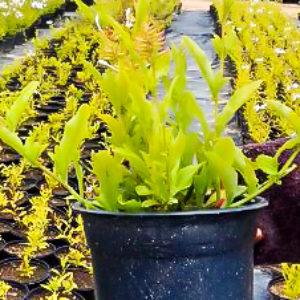 Plumbago Auriculata Alba 17cm