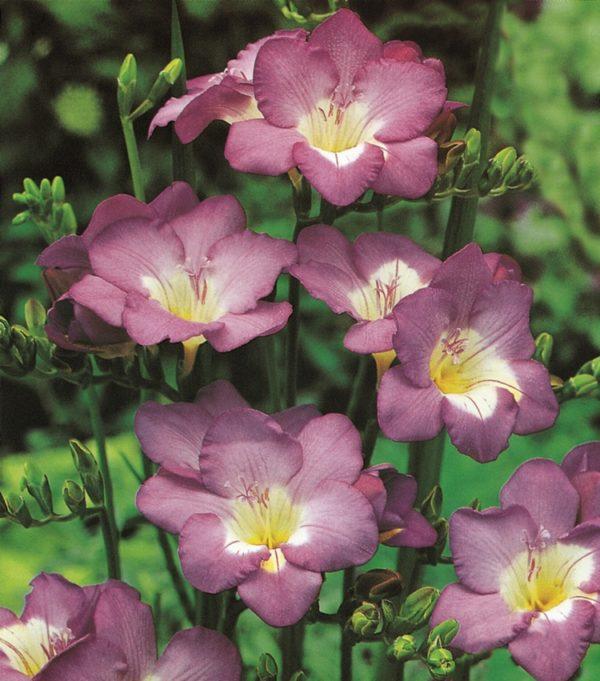 Freesias - Lilac