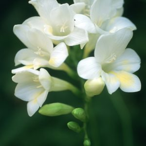 Freesias-White