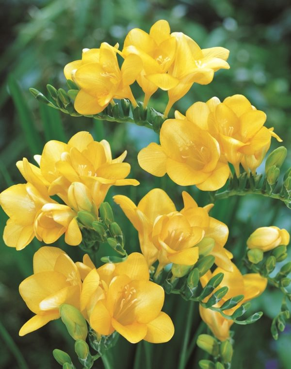 Freesias - Yellow
