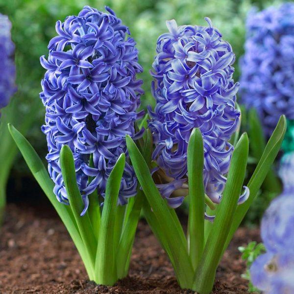 Hyacinths Bulbs-Blue