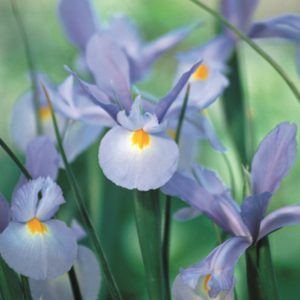 Iris Dutch-Light Blue Bulbs