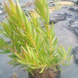 Leucadendron Inca Gold