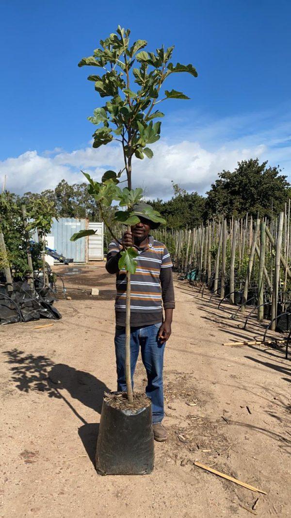 Tiger Fig tree