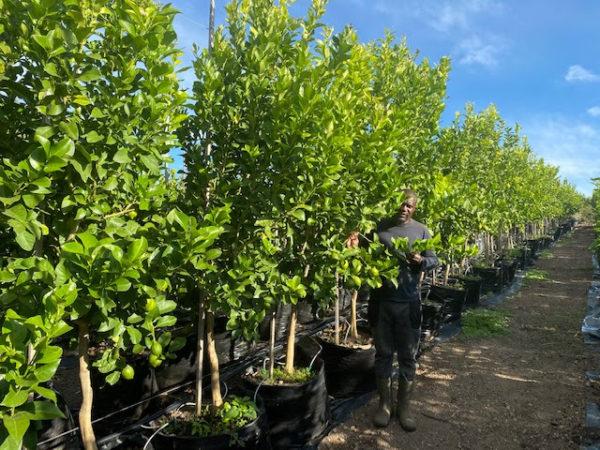 Eureka Lemon Tree Cape Town