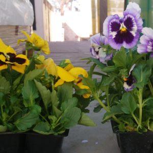 Pansy plant pasies