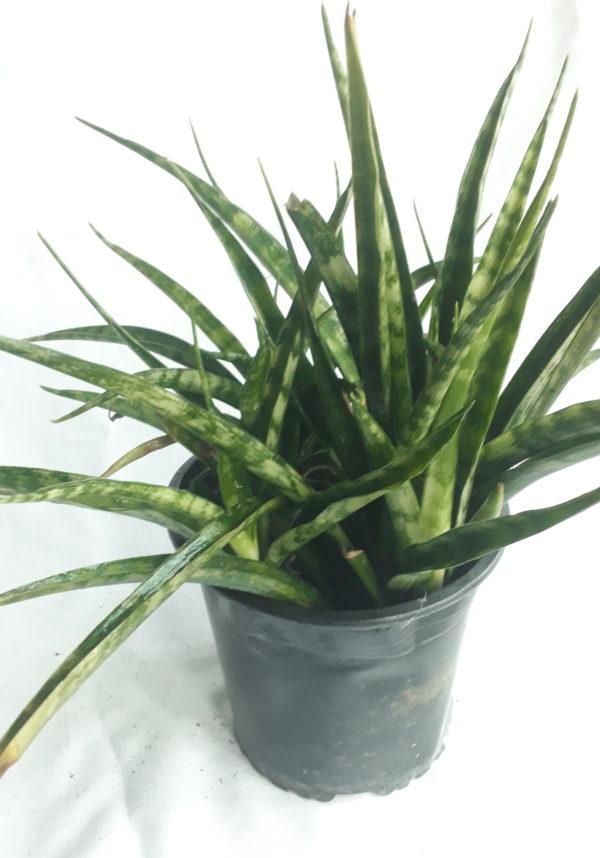 Sanserviera Trifasciata 4lt (Snake Plant)
