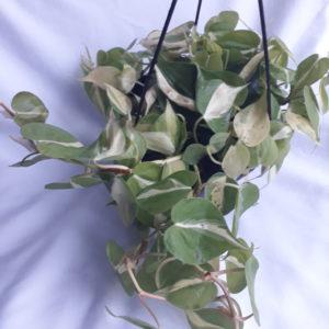Heart Leaf Philodendron Brasil 20cm Hanging Basket