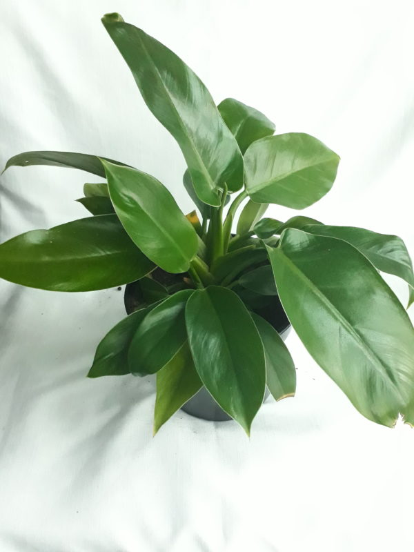 Philodendron Imperial Green 19cm Pot