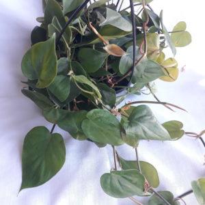 Heart Leaf Philodendron 20cm Hanging Basket
